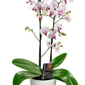 KaBloom Live Orchid Plant Collection: 18'' Tall Maxiflora Phalaenopsis...