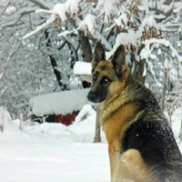 German Shepherd photograph,dog photography,winter,snow,gifts under $25