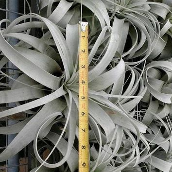 "LIVE Tillandsia Xerographica  Pack of 6 - Approximately 8"" Wide - Ships Alone"