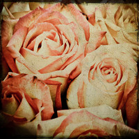Roses 4x4 Photograph by KTsVersion on Etsy