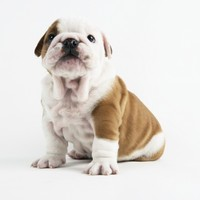 Bulldog Puppy Photographic Print by Peter M. Fisher at Art.com