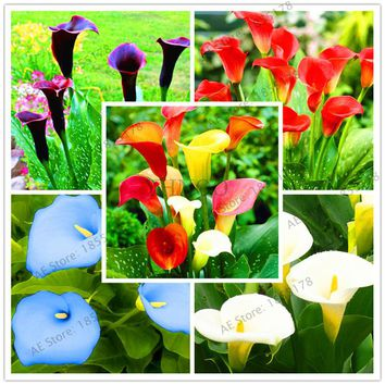 Mixed Colors Available,104 Calla Lily Seeds, Calla Lily Bulbs, Rhizome zantedeschia aethiopica, Bonsai plant for balcony.