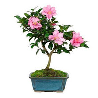 "Cotton Candy Camellia - Rose of Winter - Outdoors/Bonsai/House Plant - 4"" Pot"