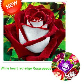 New Arrival!White Red Edge Rose Seeds Garden Seeds Plants Potted Rose Rare Flower Seeds Balcony Indoor 100 Seed/Bag,#NQY51O