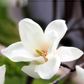 Balcony Potted Flowers White Magnolia Seeds Easy to Grow Flowering Plants 120 Particles / lot