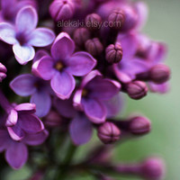 Lilacs, flower photography, purple color flower blossoms, home decor, nursery decor, soft focus