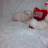 Piglets for Sale – Teacup Pigs