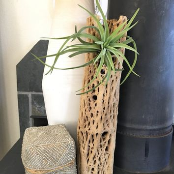 Large Cholla Wood Planter - Includes Air Plant