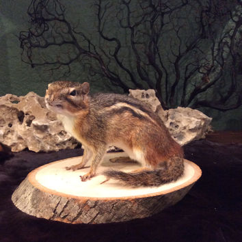 Crouching Taxidermy Chipmunk