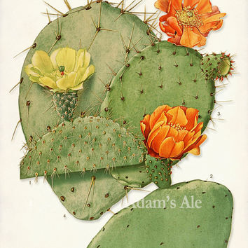 Cacti Of America Scientific Illustration 3: The Third Art Print In a Series of 4