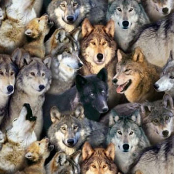 North American Wildlife-Packed Wolves, Black Background, Elizabeth Studio