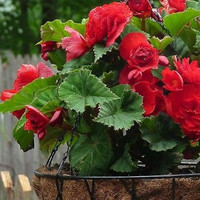 Begonia Double Red Flower Seeds (Begonia Tuberosa) 30+Seeds