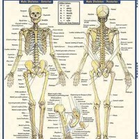 Skeletal System: Advanced (Quick Study Academic): Skeletal System: Advanced
