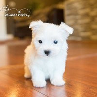 Buy a Toy Maltese puppy , from Dreamy Puppy available only at DreamyPuppy.com Place a $200.00 deposit online!