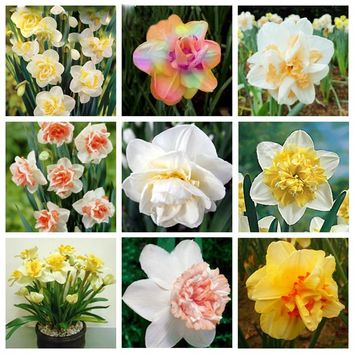 100 pcs / bag Blooming Narcissus Aquatic Plants Indoor Double Petals Daffodil Bonsai Flower DIY Potted Ornamental SeedsPlant