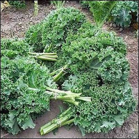 Kale Vates Blue Curled Vegetable Seeds (Brassica oleracea) 100+Seeds
