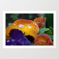 Raindrops on pansy Art Print by robdickinsonphotodesign