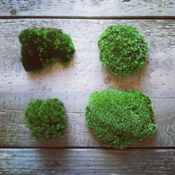 Live Moss for Terrariums // Cushion Moss - Frog Moss - Sheet Moss