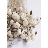 "Natural Dried Flower Buttons Bundle - 18"" Tall"