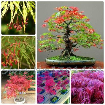 Free Shipping 4 kinds 20pcs Maple Feathers Seeds Canada Maple tree seed Bonsai plant The Budding Rate 90% (Mixed colors),