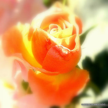 Gorgeous Peach Rose Photo, Nature Print, Flower Photo,Flower Photography,Peach Drift Rose, Nursery Decor, Rose,Home & Office Decor, Wall Art