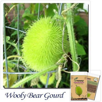 Vegetables Fruits seeds 30pcs Wooly Bear Gourd Seeds-VERY rare in North America!Balcony bonsai planting!