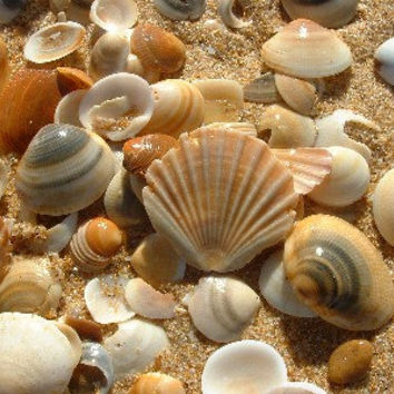 wholesale seashells, sea shells, bulk seashells, seashells