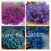 100pcs lobelia seeds, Garden indoor bonsai flower plant, (blue, purple. White. Pink) Diaopen flower garden decoration