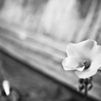 Flower picture black and white mute soft gray by AulaniPhotography