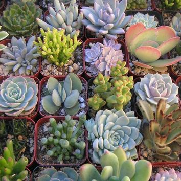 A Collection Of 5 Succulent Plants, Great For Terrarium Projects, Centerpieces, Container Gardens