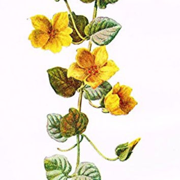"Hulme's Familiar Wild Flowers - ""MONEYWORT"" - Lithograph - 1902"