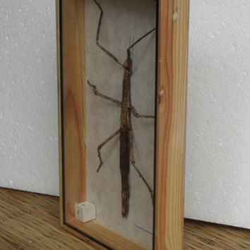 REAL  Walking Stick insect Taxidermy Collection in wooden box /inf06
