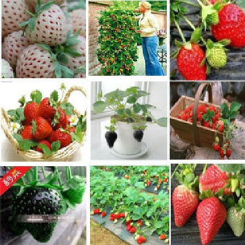 1000 pcs (24 colors ) strawberry seeds fruit strawberries seeds flower seed garden indoor DIY Garden bonsai flower pots planters