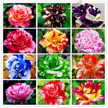 50pcs Holland Candy Stripe rose Seed Lover Gift blue Green black Rainbow rare  Home Gardening Flower,free shipping