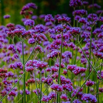 Purpletop Vervain Flower Seeds (Verbena Stricta) 200+Seeds
