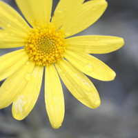 Yellow Daisy photo, flower photography, yellow and grey wall art