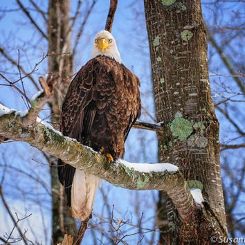 Nature Photography, Bald Eagle in Tree, Set of 3 Photo Cards, Wildlife, Wisconsin, American Symbol, Patriotic, Father's Day, Home Decor