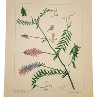 Cow Vetch Botanical Watercolor R.H. Greeley