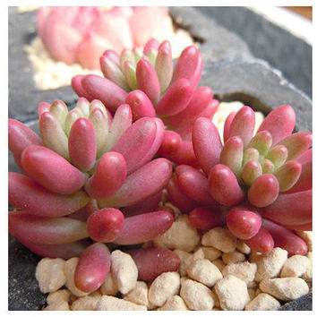 200 Pink Sedum Rubrotinctum Succulent Seeds Lotus Lithops Bonsai Plants Seeds for Home Garden Ornamental Flower Pots Planters Balcony Decor