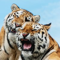 TIGERS - DOUBLE TROUBLE Art Print by catspaws