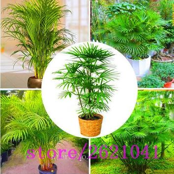 20pcs Palm bamboo Seeds, indoor plants Tree seeds new arrival DIY Home Garden