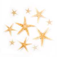 Starfish - Pacific Spiny Star - Archaster typicus