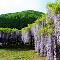 Hot Sale Bonsai Plant White&Purple Wisteria Tree Seeds Indoor Ornamental home garden Plants Seeds Wisteria Flower Seeds 15PCS