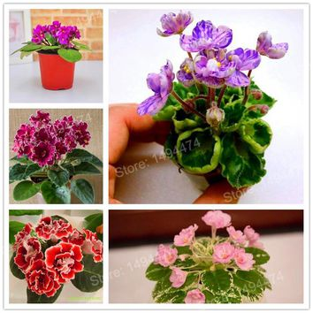 200pcs mixed color mini Violet Seeds,African violet seeds,Mini Garden Plants Violet Flowers Perennial Herb Matthiola Incana Seed