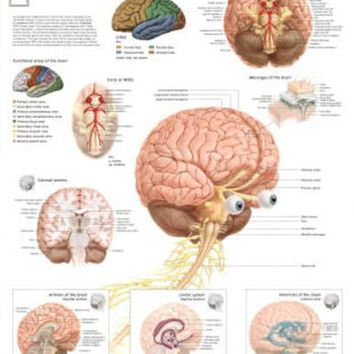 Laminated The Human Brain Educational Chart Poster
