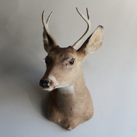 Petite Vintage Adult Taxidermy Deer Head Mount with Antler Rack  Rustic Woodland Home Decor