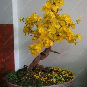 10 pcs/bag yellow Jasmine seeds rare bonsai flower seeds Beautiful intellectual indoor potted jasmine plant for home garden