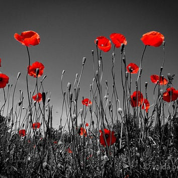 In the Poppy Field- 12x16 inches fine art photograph - red poppy photo - poppy wall decor - scarlet - signed limited edition