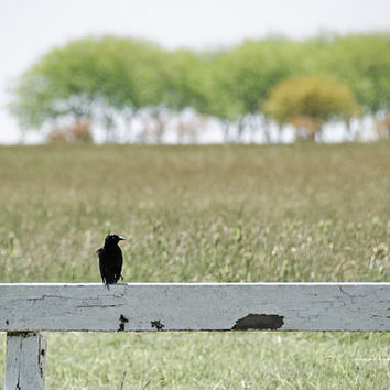Black Crow Photograph, White Fence, Raven, Bird, Animals, Spring Landscape Nature Photo, Rural, Rustic, Field, Trees, Green Meadow