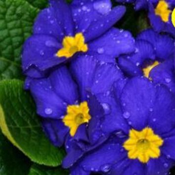 free ship Flower seeds Bonsai (40 pieces) Primrose seed,Primula malacoides,planting seasons, flowering plants